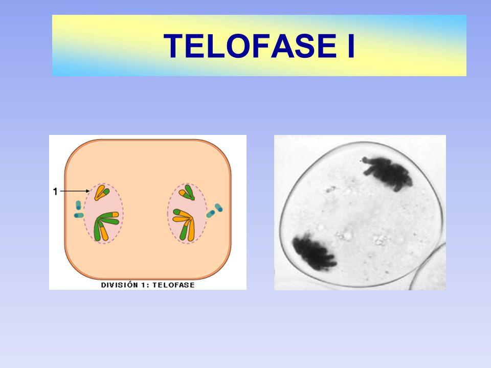 TELOFASE I