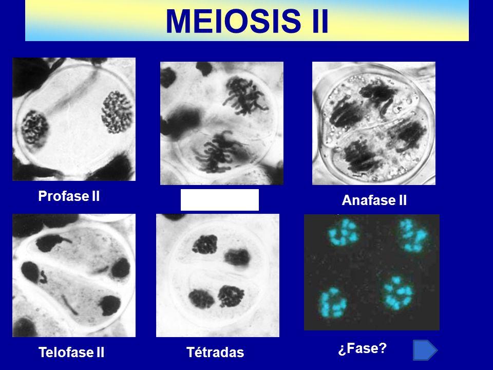 MEIOSIS II Profase II Tétradas Anafase II ¿Fase Telofase II Tétradas