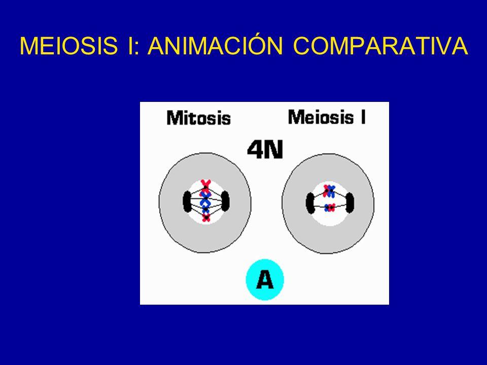 MEIOSIS I: ANIMACIÓN COMPARATIVA