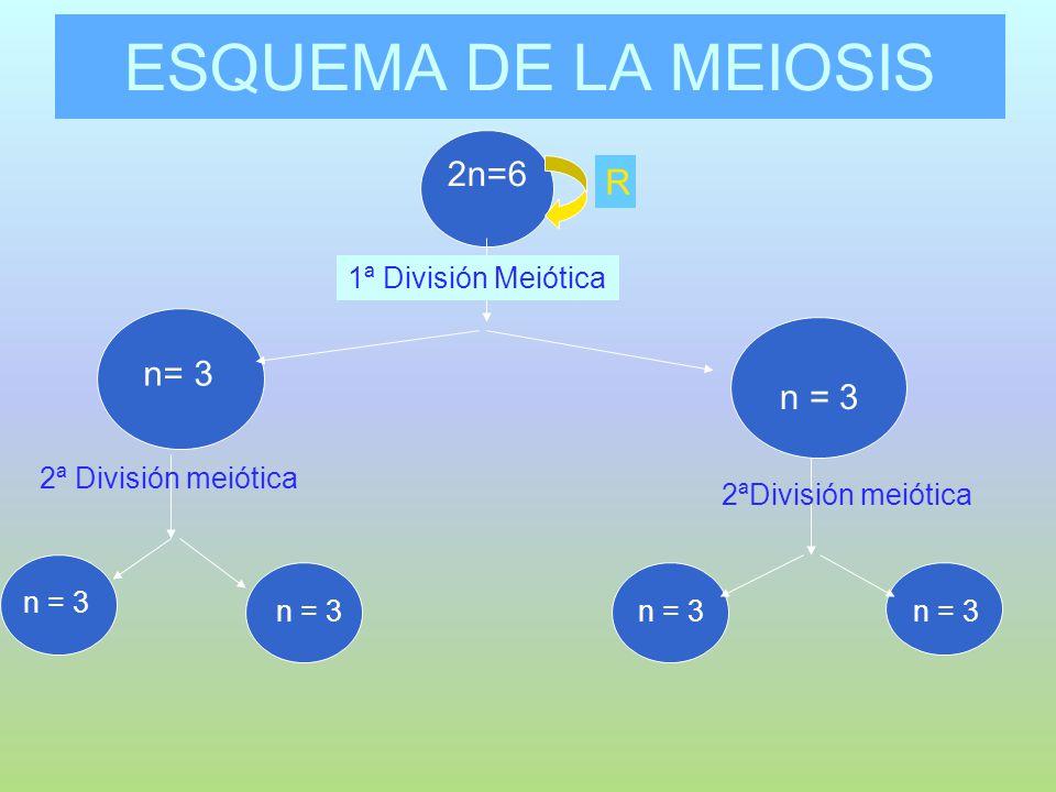 ESQUEMA DE LA MEIOSIS 2n=6 R n= 3 n = 3 n2 =6 1ª División Meiótica