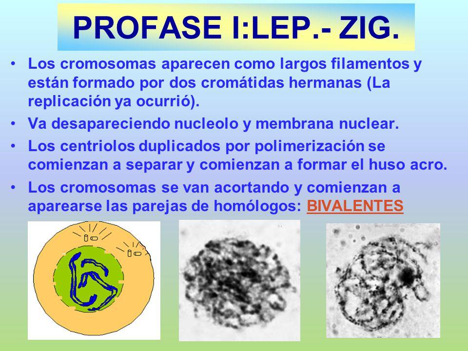 PROFASE I:LEP.- ZIG. Los cromosomas aparecen como largos filamentos y están formado por dos cromátidas hermanas (La replicación ya ocurrió).