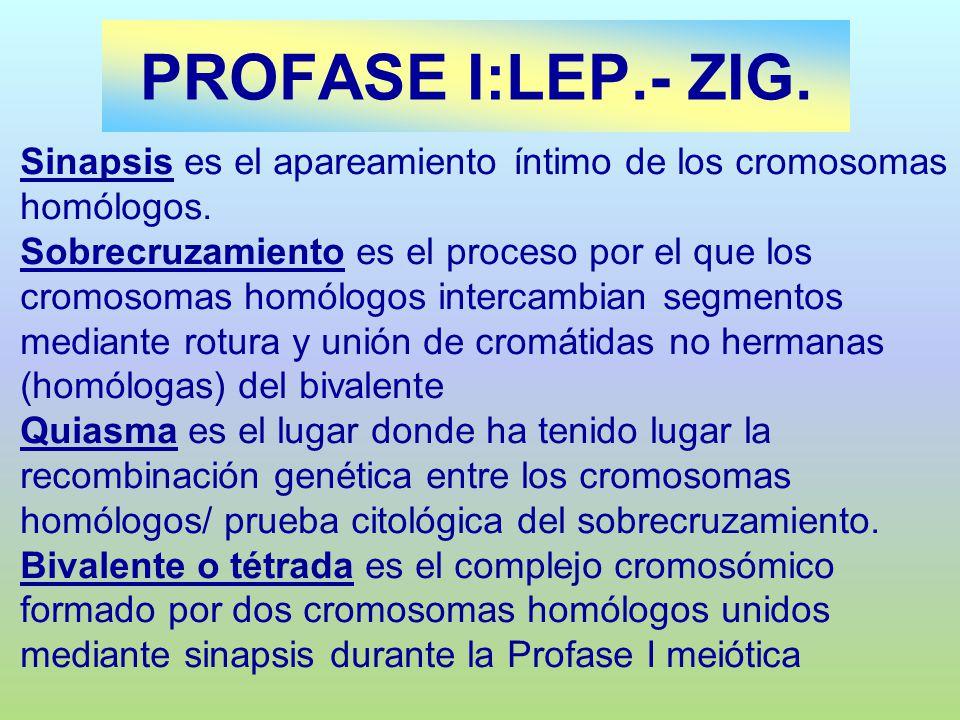 PROFASE I:LEP.- ZIG. Sinapsis es el apareamiento íntimo de los cromosomas homólogos.