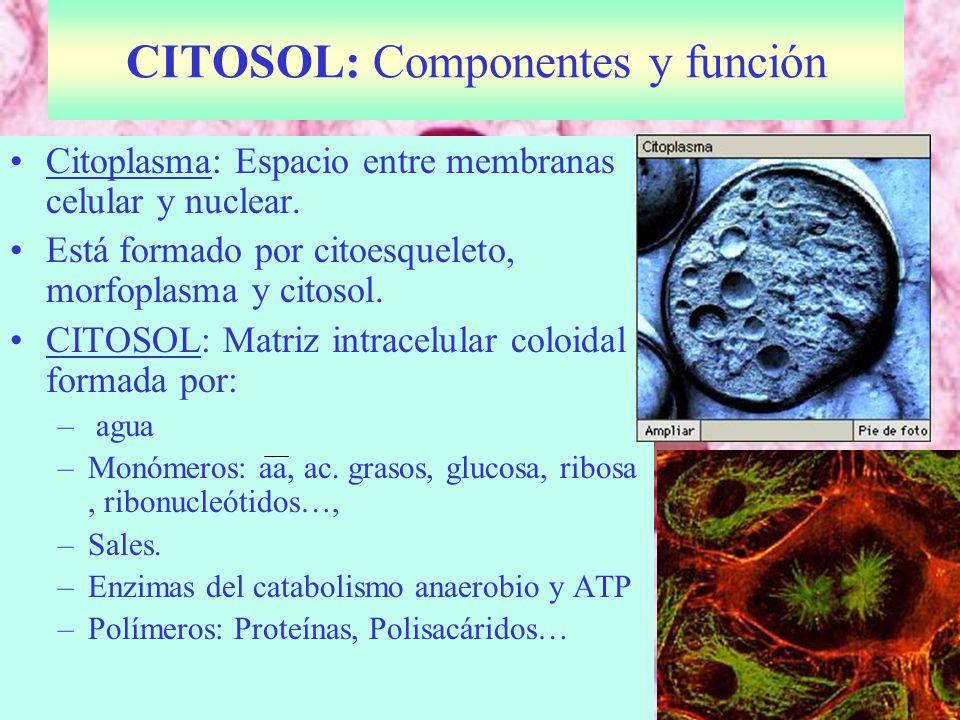 CITOSOL: Componentes y función
