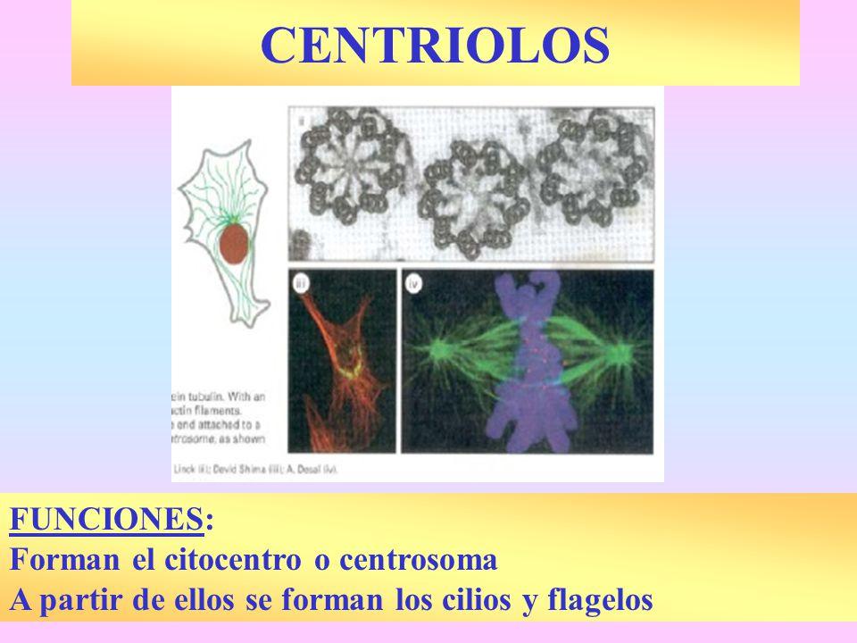 CENTRIOLOS FUNCIONES: Forman el citocentro o centrosoma
