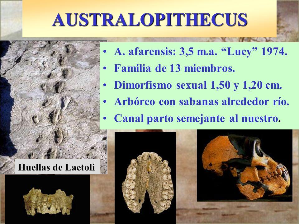 AUSTRALOPITHECUS A. afarensis: 3,5 m.a. Lucy 1974.
