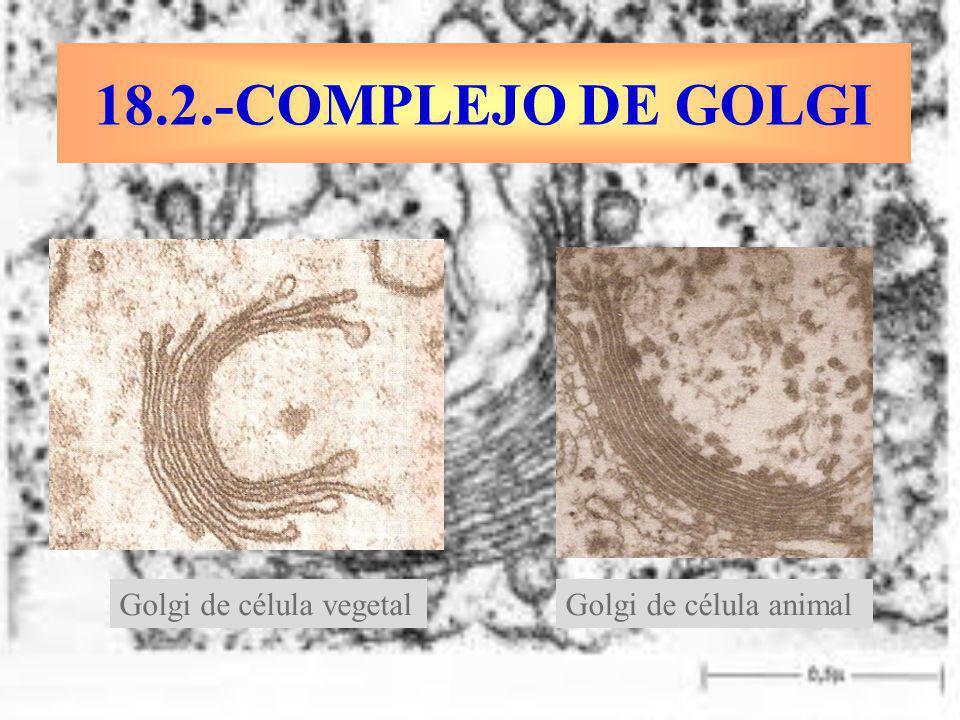 18.2.-COMPLEJO DE GOLGI Golgi de célula vegetal Golgi de célula animal