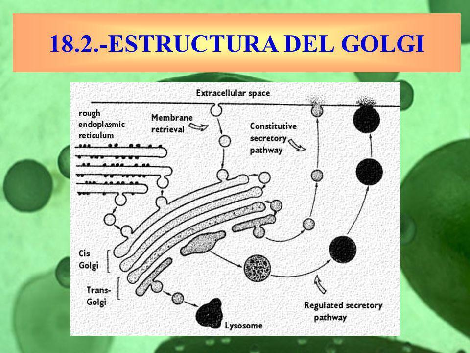 18.2.-ESTRUCTURA DEL GOLGI
