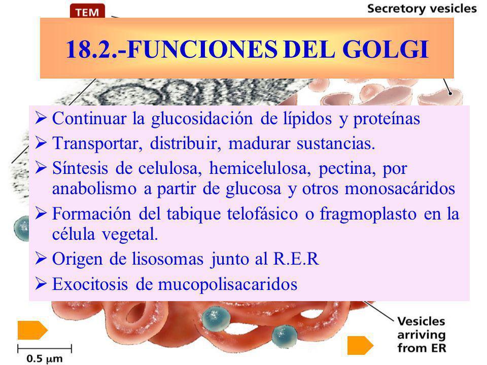 18.2.-FUNCIONES DEL GOLGI Continuar la glucosidación de lípidos y proteínas. Transportar, distribuir, madurar sustancias.