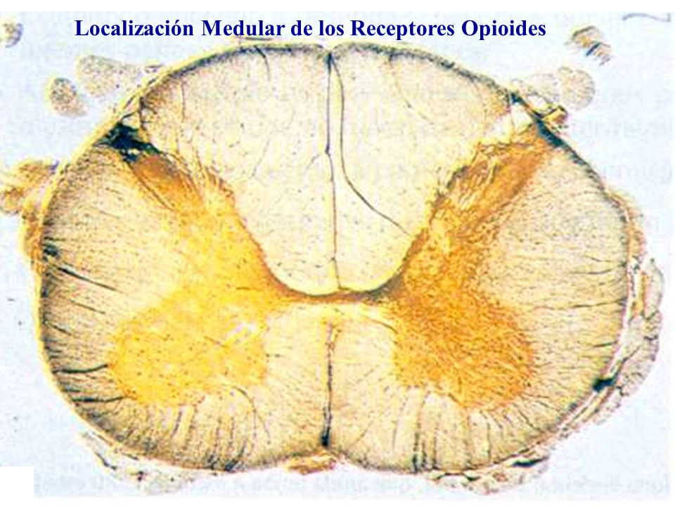 Localización Medular de los Receptores Opioides