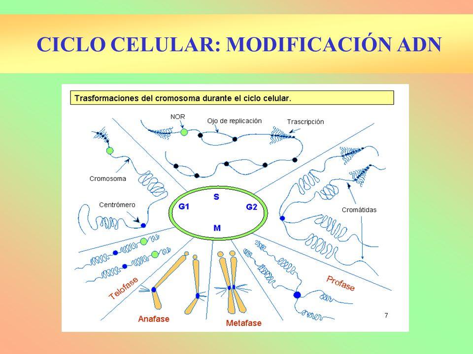 CICLO CELULAR: MODIFICACIÓN ADN