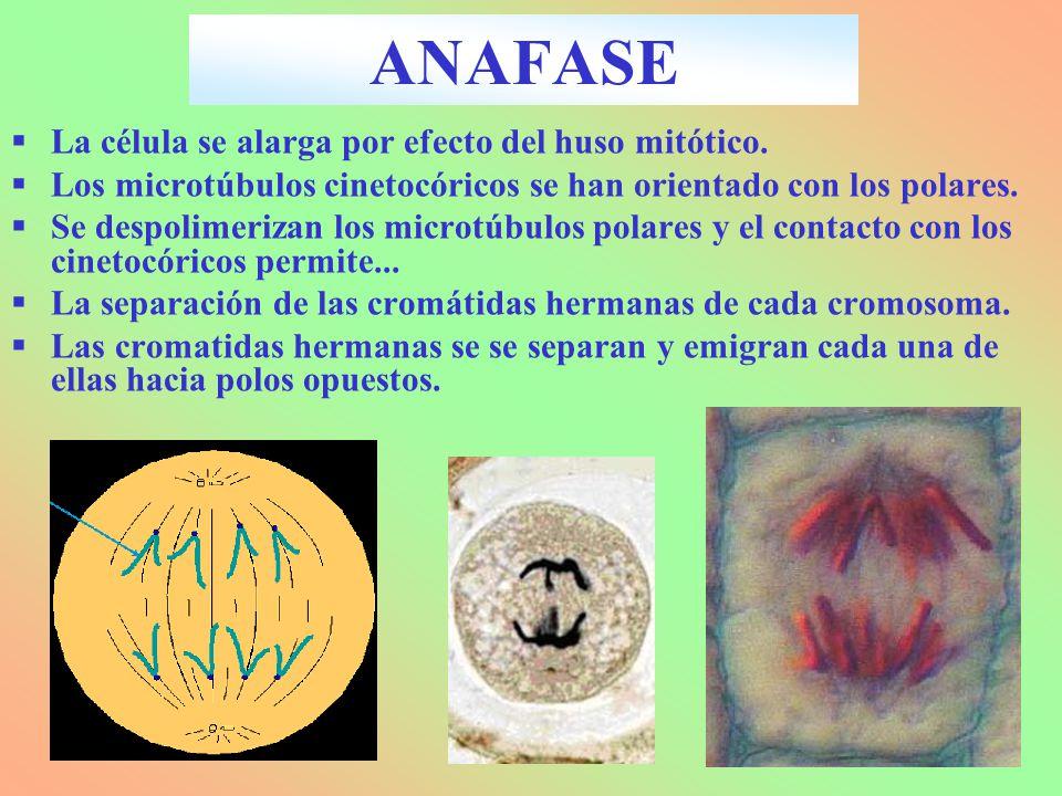 ANAFASE La célula se alarga por efecto del huso mitótico.