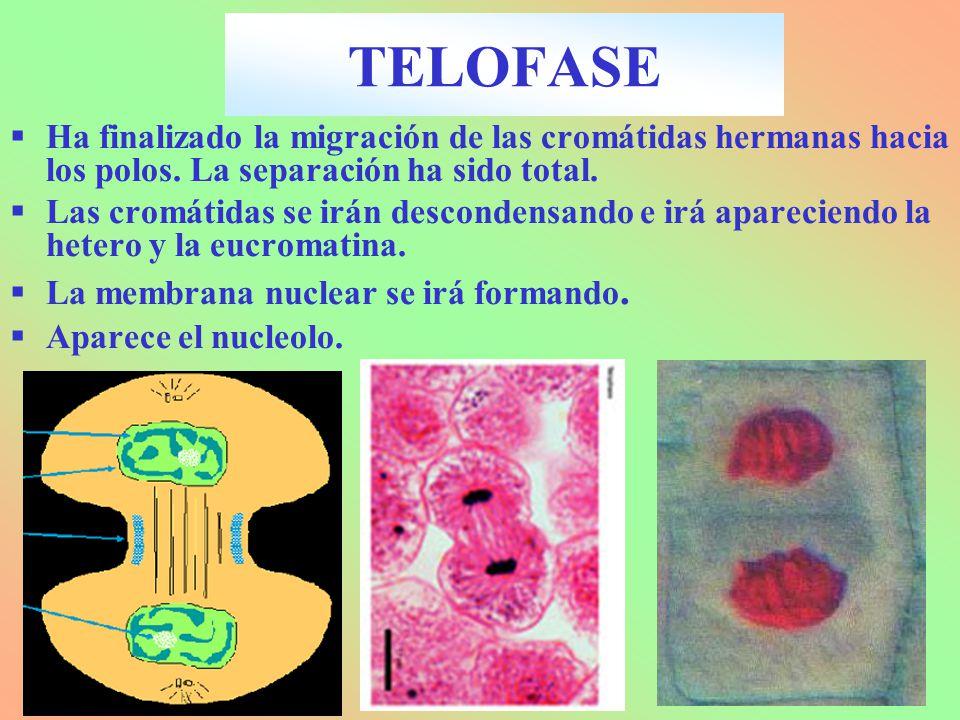 TELOFASE Ha finalizado la migración de las cromátidas hermanas hacia los polos. La separación ha sido total.