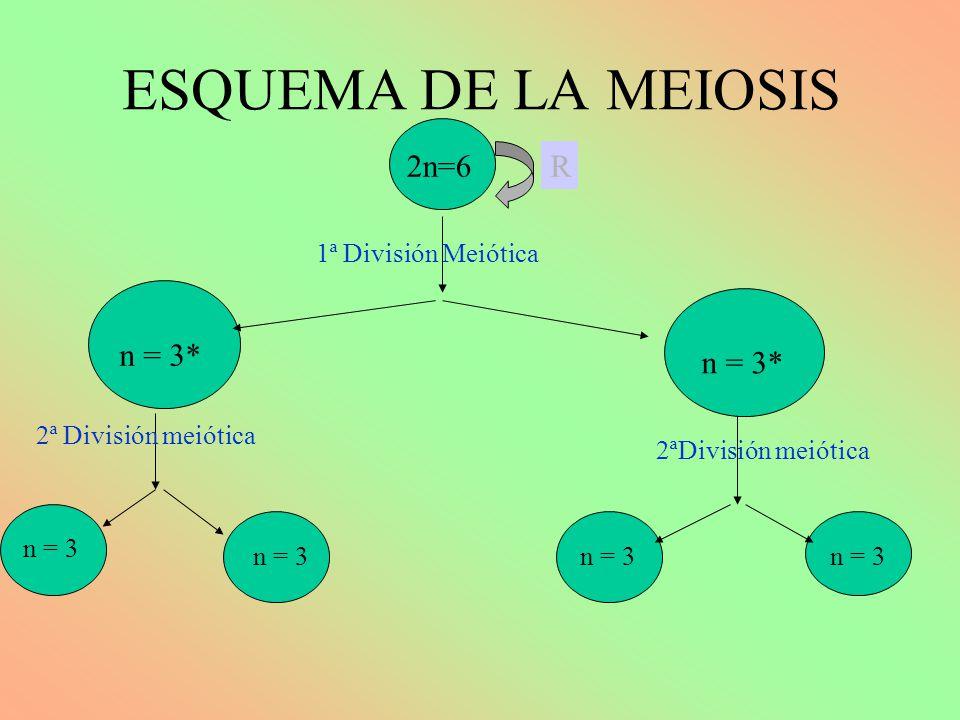 ESQUEMA DE LA MEIOSIS 2n=6 R n = 3* n2 =6 n = 3* 1ª División Meiótica