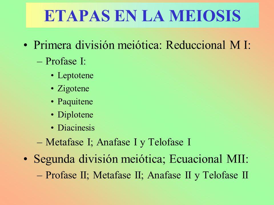 ETAPAS EN LA MEIOSIS Primera división meiótica: Reduccional M I: