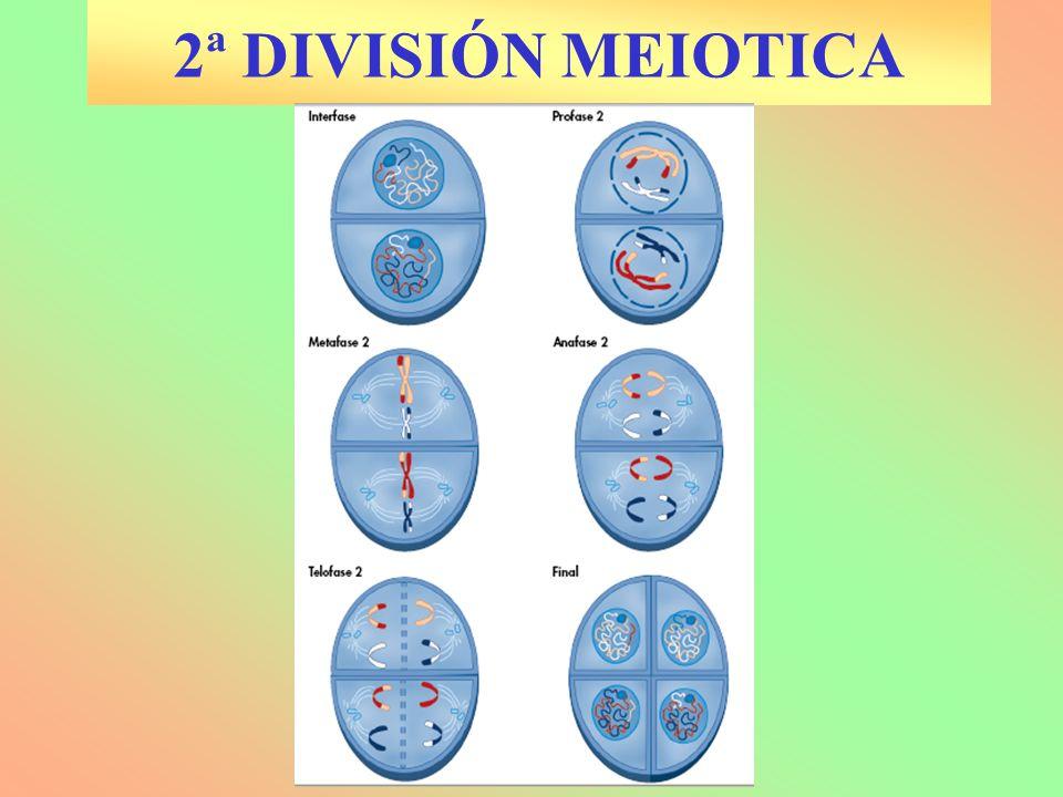 2ª DIVISIÓN MEIOTICA