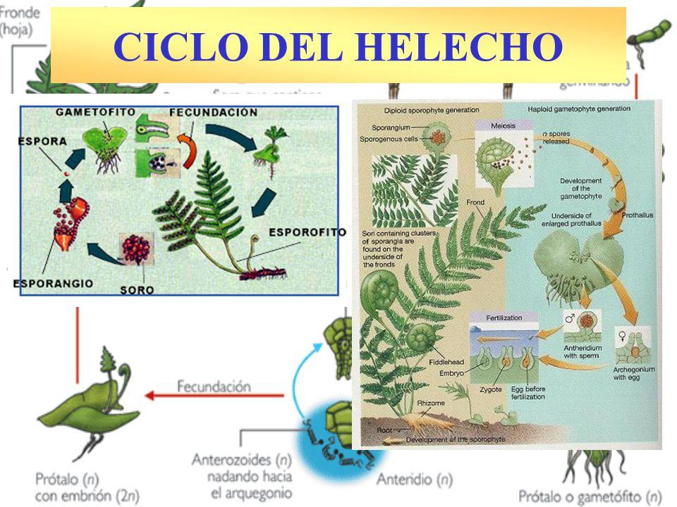 CICLO DEL HELECHO