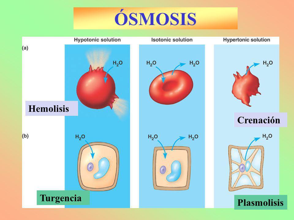 ÓSMOSIS Hemolisis Crenación Turgencia Plasmolisis Biología 2º