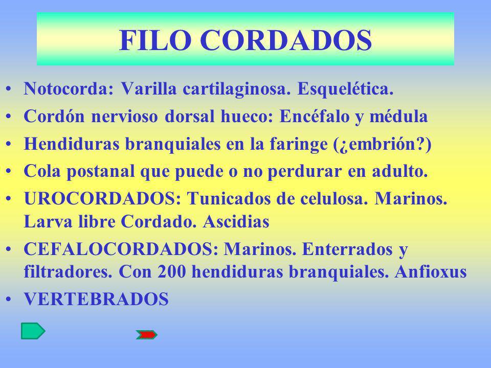 FILO CORDADOS Notocorda: Varilla cartilaginosa. Esquelética.