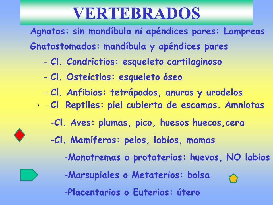 VERTEBRADOS Agnatos: sin mandíbula ni apéndices pares: Lampreas