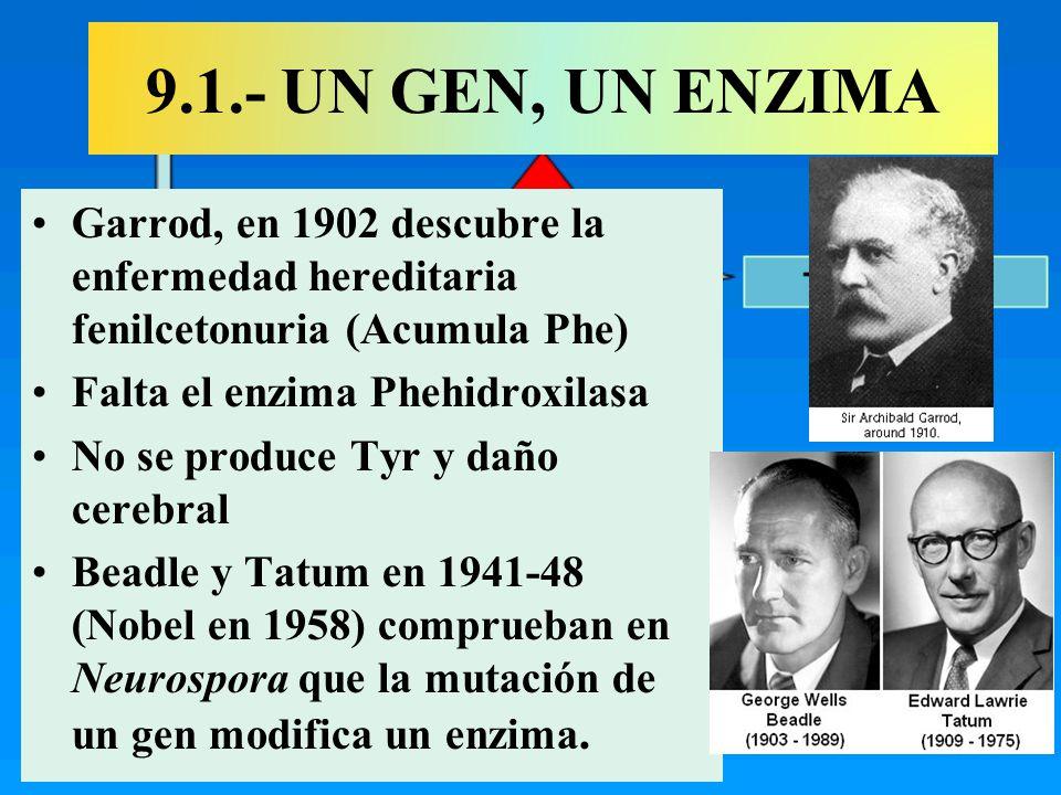 9.1.- UN GEN, UN ENZIMA Garrod, en 1902 descubre la enfermedad hereditaria fenilcetonuria (Acumula Phe)