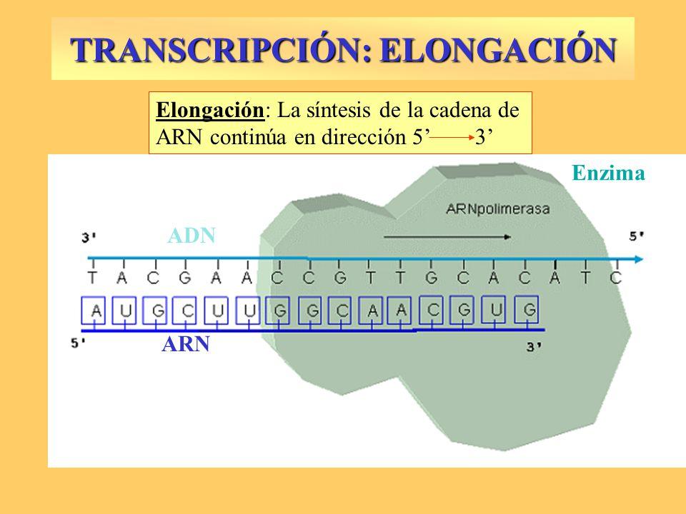 TRANSCRIPCIÓN: ELONGACIÓN