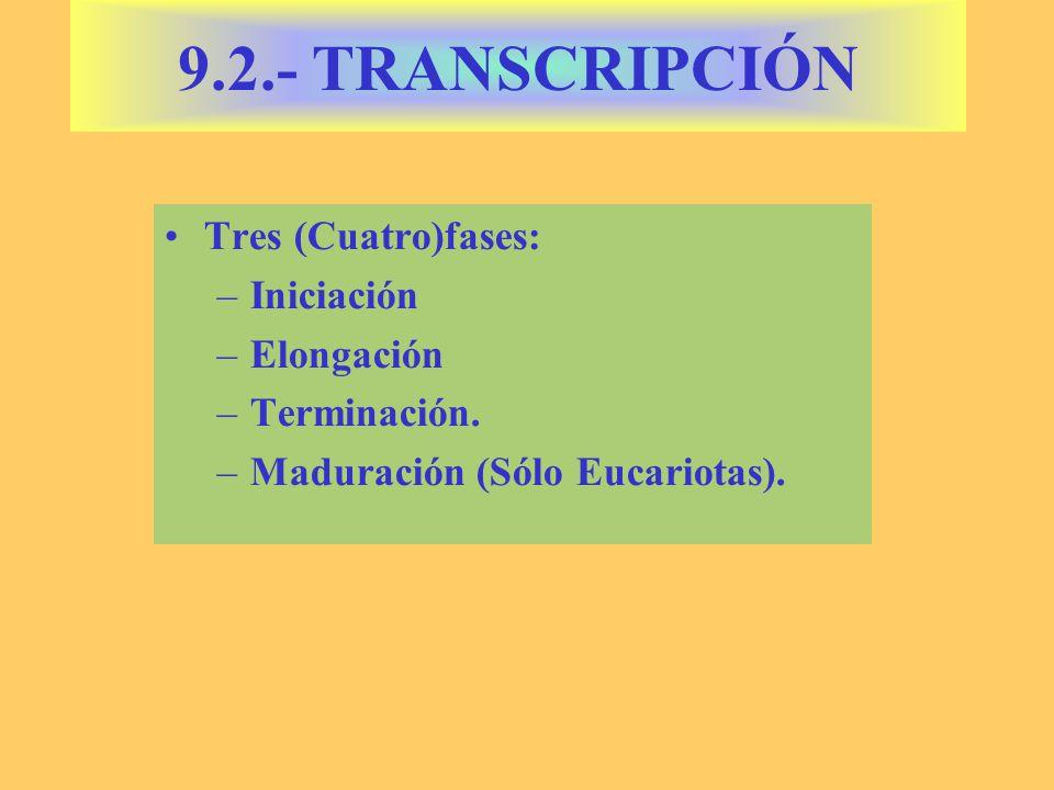 9.2.- TRANSCRIPCIÓN Tres (Cuatro)fases: Iniciación Elongación