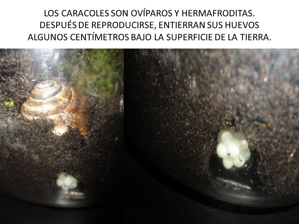 LOS CARACOLES SON OVÍPAROS Y HERMAFRODITAS