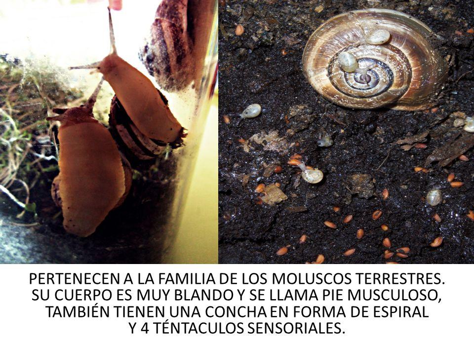 PERTENECEN A LA FAMILIA DE LOS MOLUSCOS TERRESTRES.