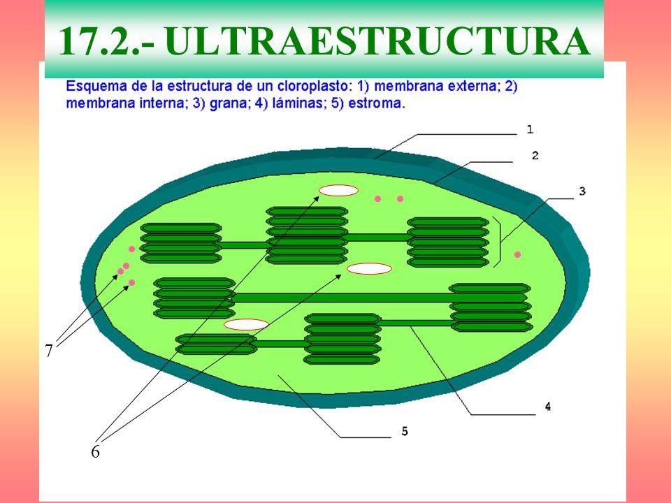 17.2.- ULTRAESTRUCTURA 7 6