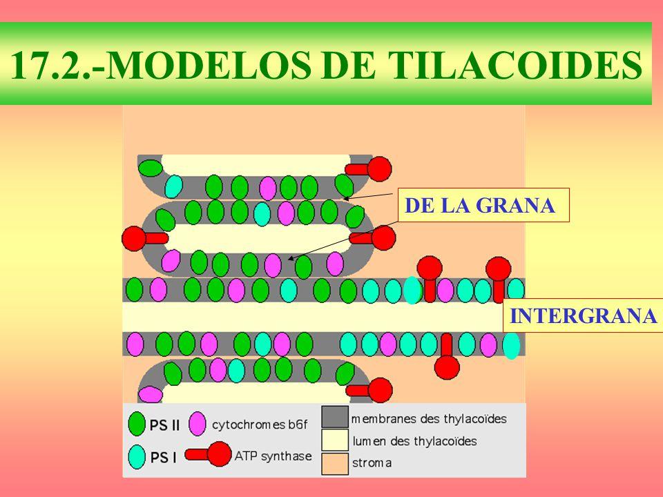 17.2.-MODELOS DE TILACOIDES