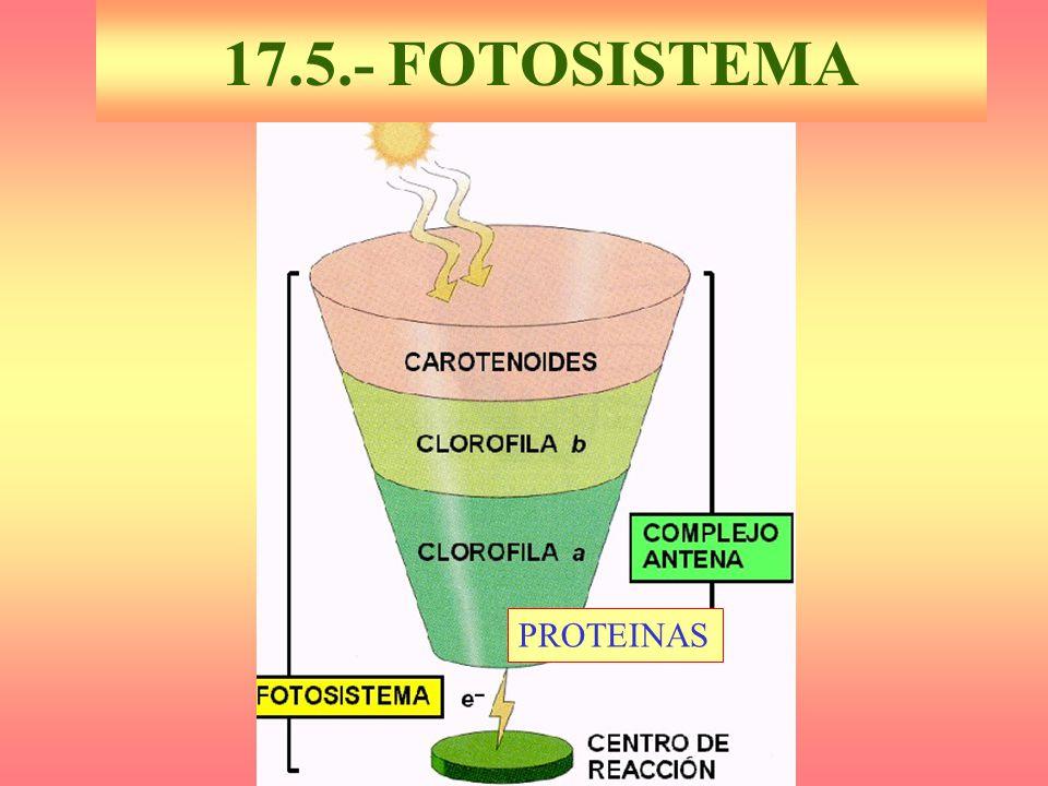 17.5.- FOTOSISTEMA PROTEINAS
