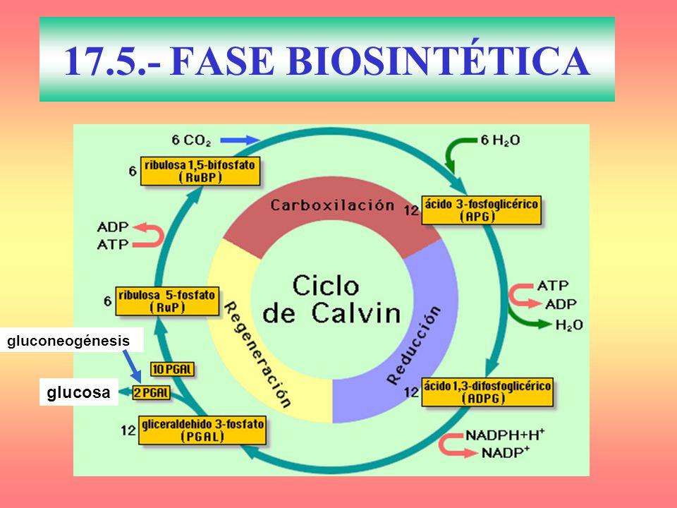 17.5.- FASE BIOSINTÉTICA gluconeogénesis glucosa