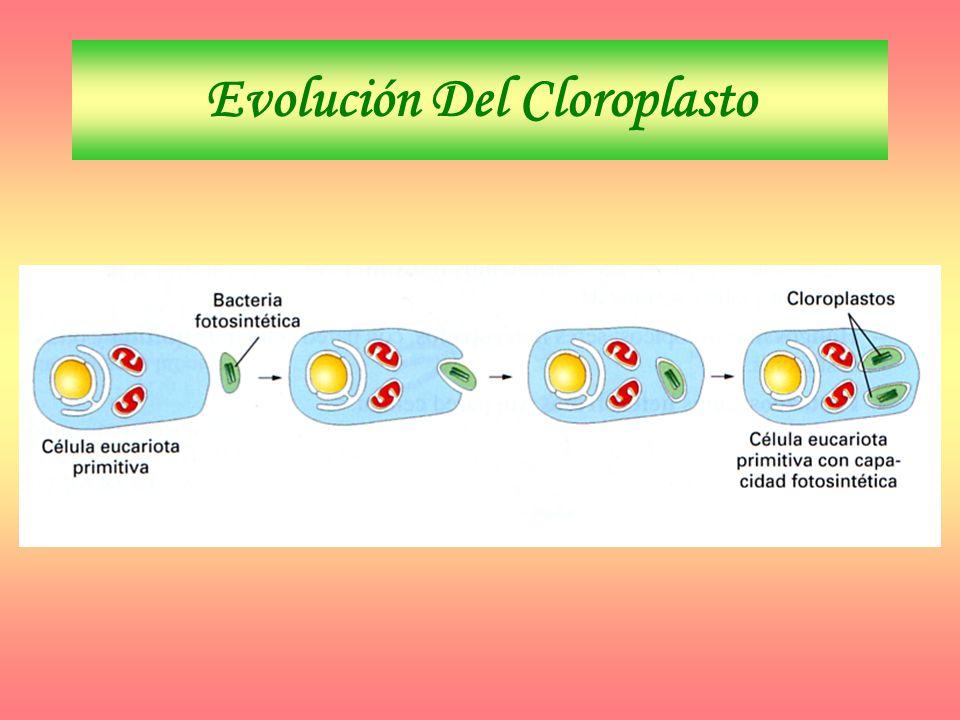 Evolución Del Cloroplasto
