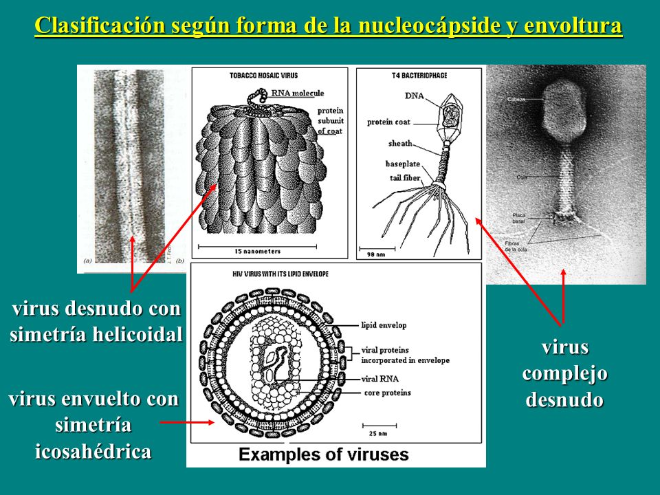 Clasificación según forma de la nucleocápside y envoltura