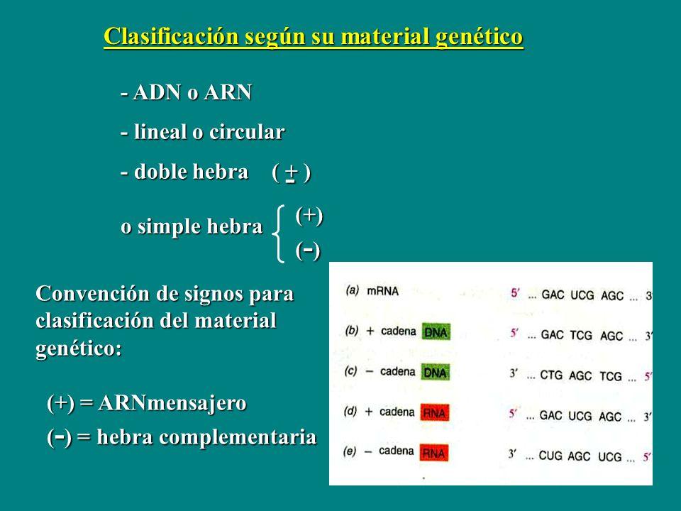 - Clasificación según su material genético - ADN o ARN