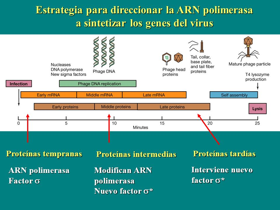 Estrategia para direccionar la ARN polimerasa a sintetizar los genes del virus
