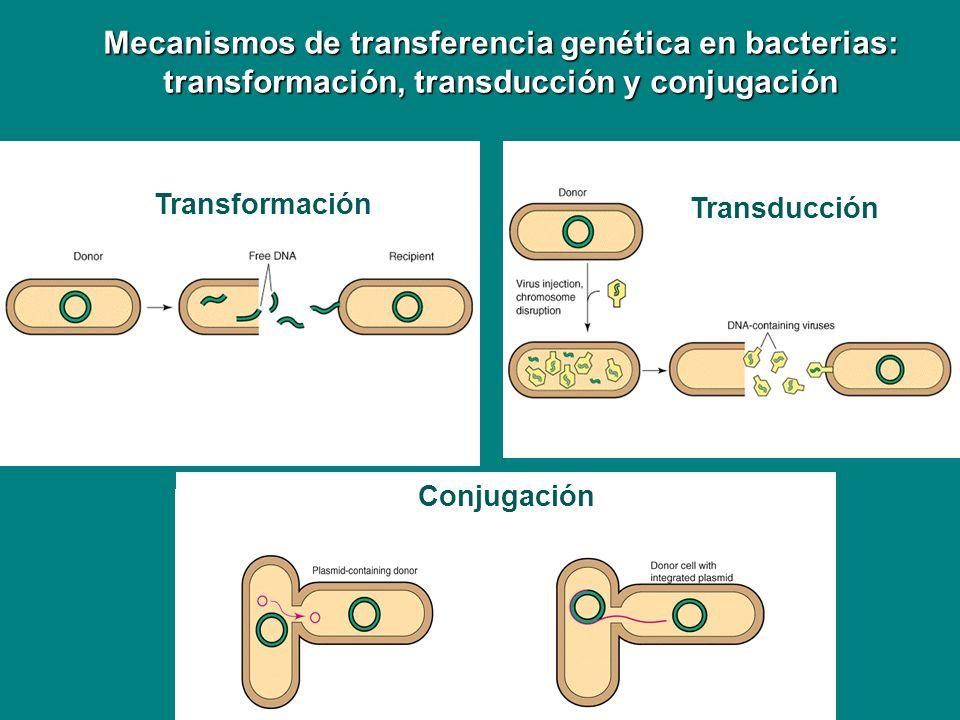 Mecanismos de transferencia genética en bacterias: transformación, transducción y conjugación