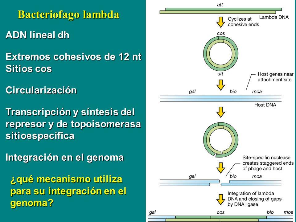 Bacteriofago lambda ADN lineal dh Extremos cohesivos de 12 nt