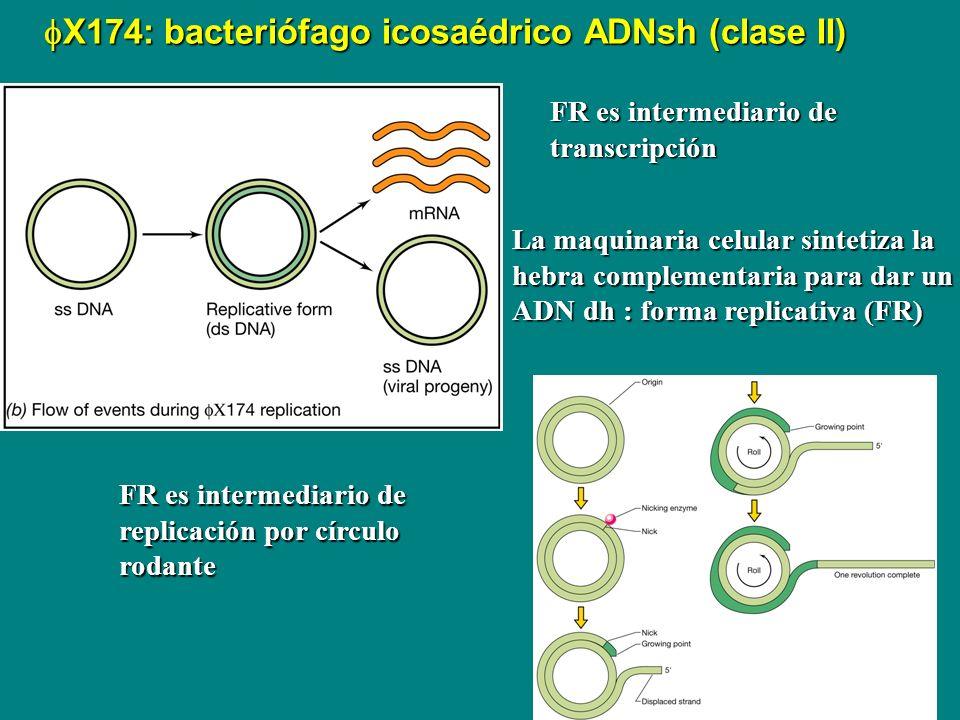 fX174: bacteriófago icosaédrico ADNsh (clase II)