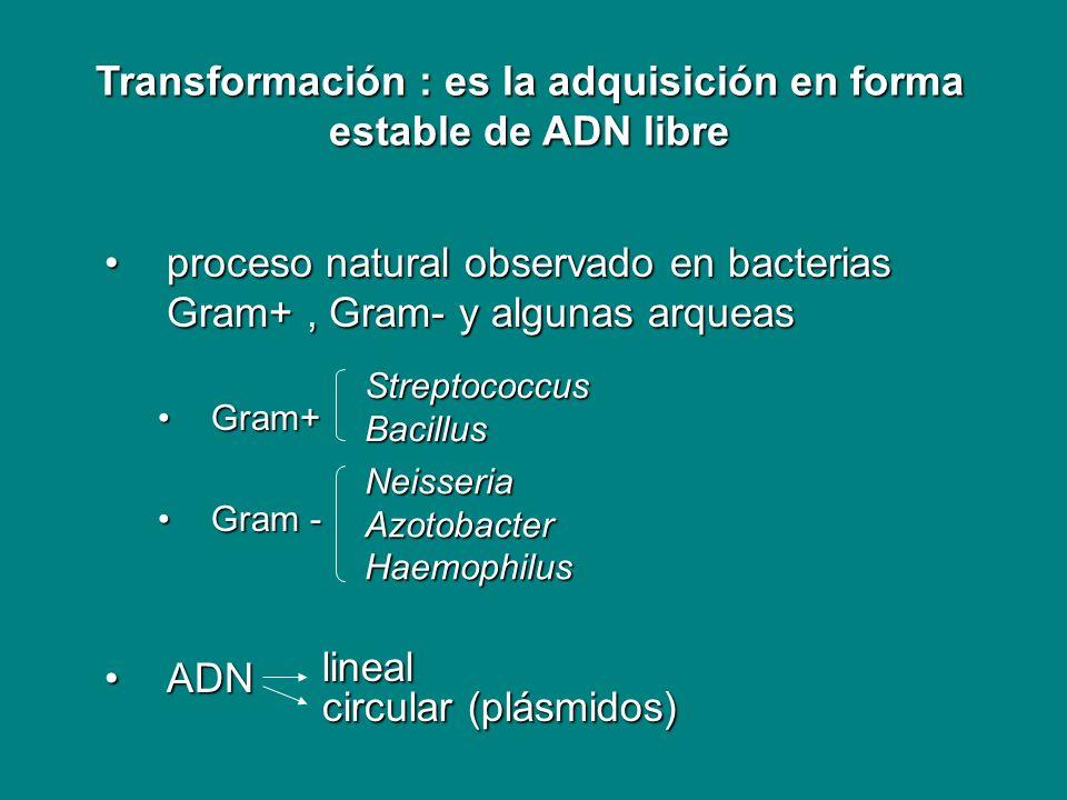 Transformación : es la adquisición en forma estable de ADN libre