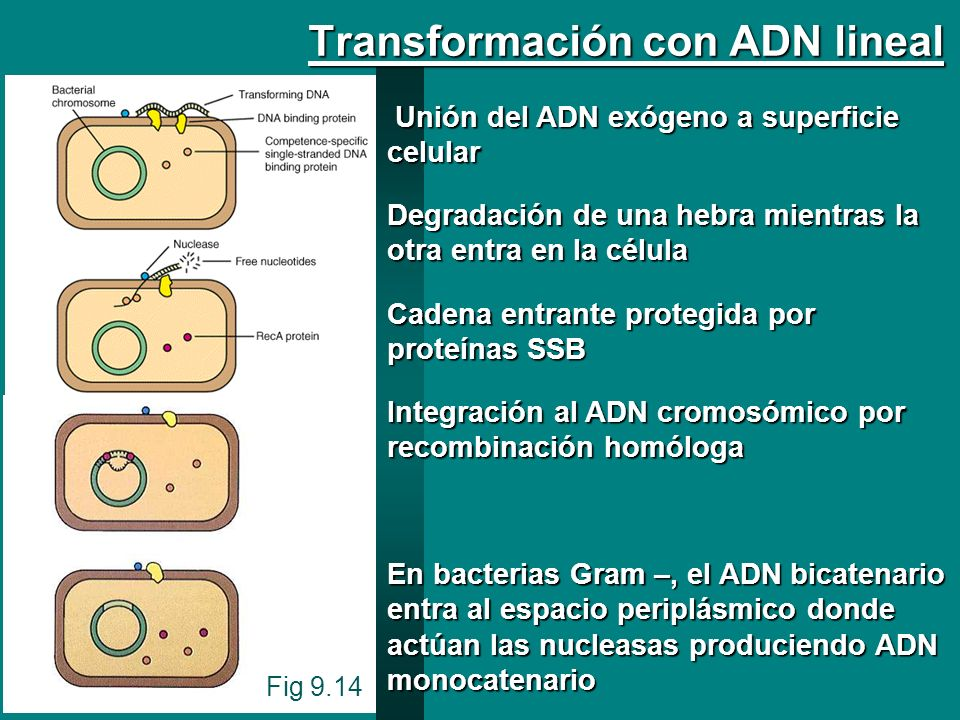 Transformación con ADN lineal