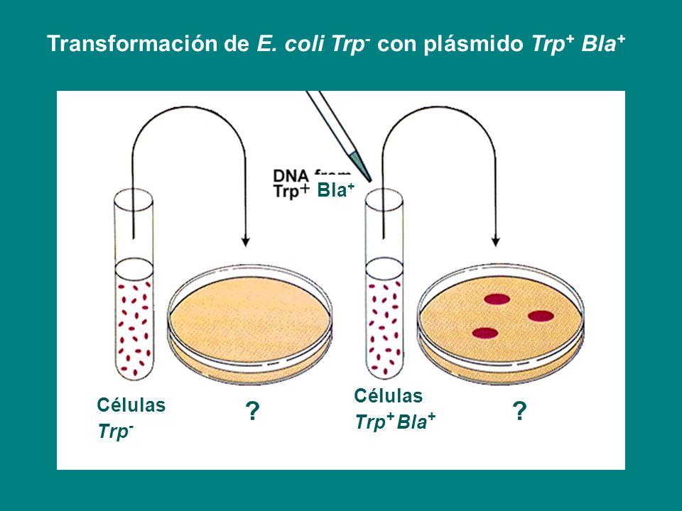 Transformación de E. coli Trp- con plásmido Trp+ Bla+ Bla+ Células
