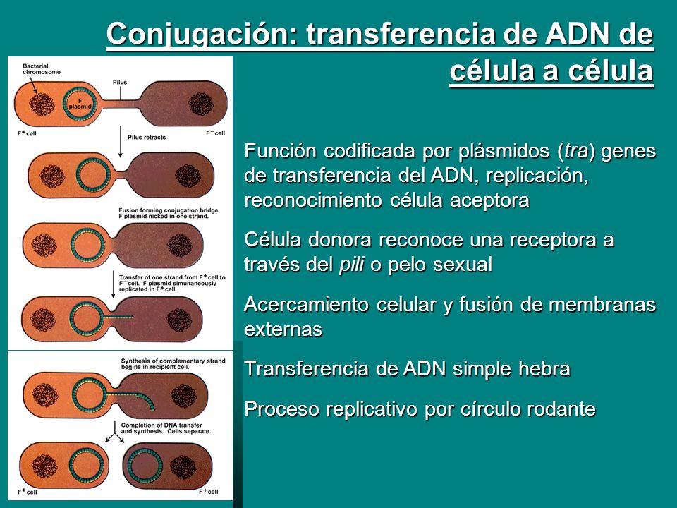 Conjugación: transferencia de ADN de célula a célula