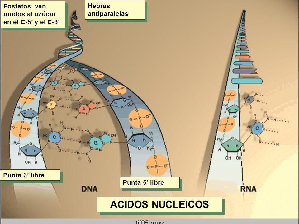 ACIDOS NUCLEICOS Fosfatos van unidos al azúcar en el C-5' y el C-3'