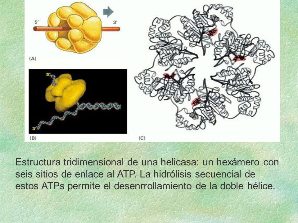 Estructura tridimensional de una helicasa: un hexámero con