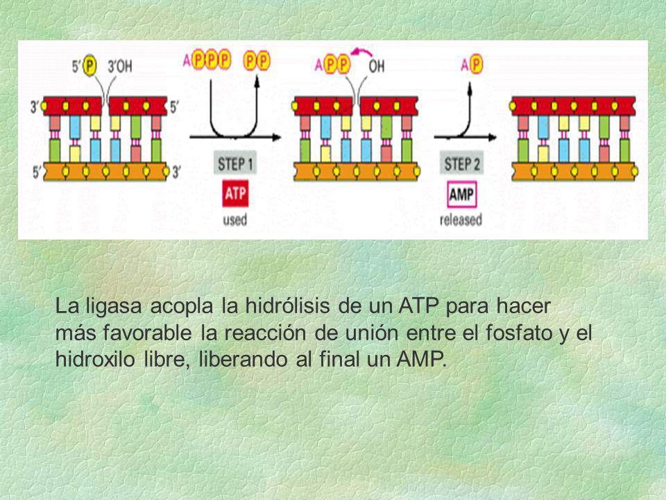 La ligasa acopla la hidrólisis de un ATP para hacer