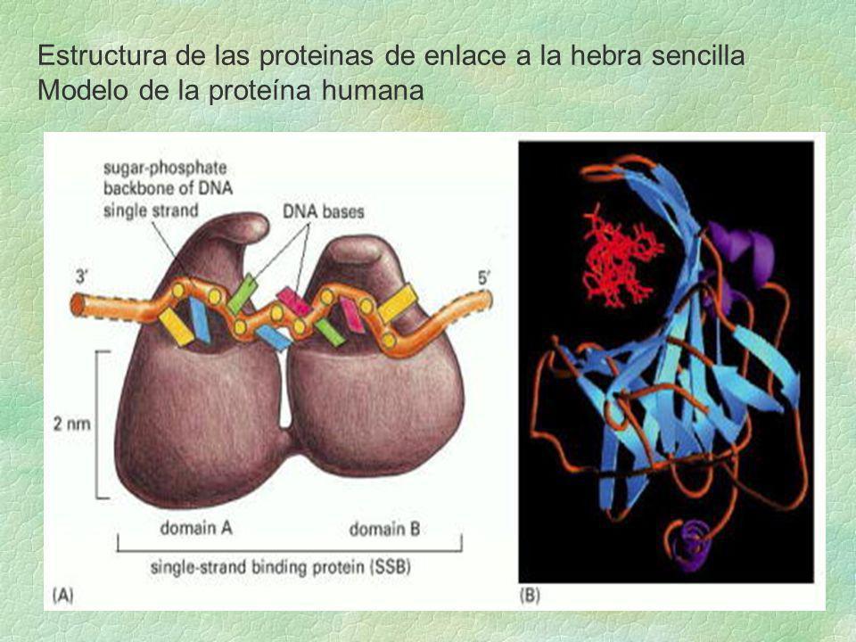 Estructura de las proteinas de enlace a la hebra sencilla