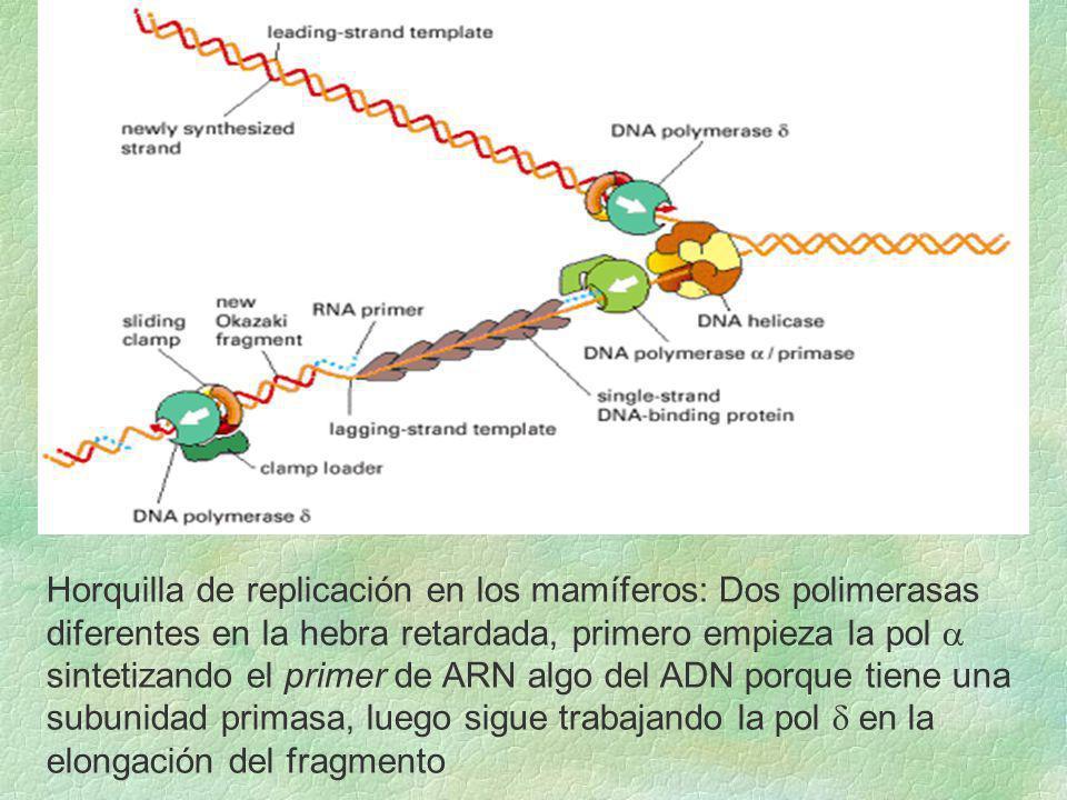 Horquilla de replicación en los mamíferos: Dos polimerasas