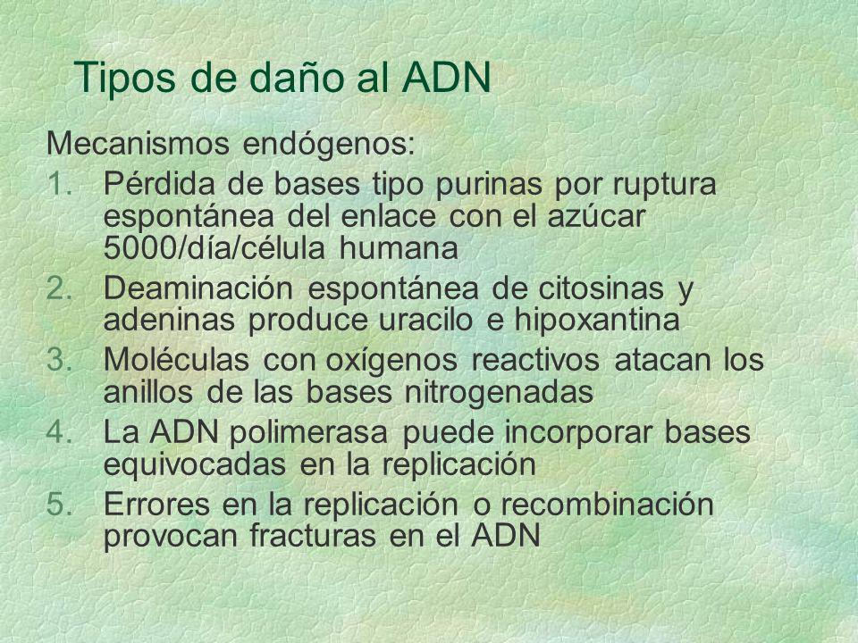 Tipos de daño al ADN Mecanismos endógenos: