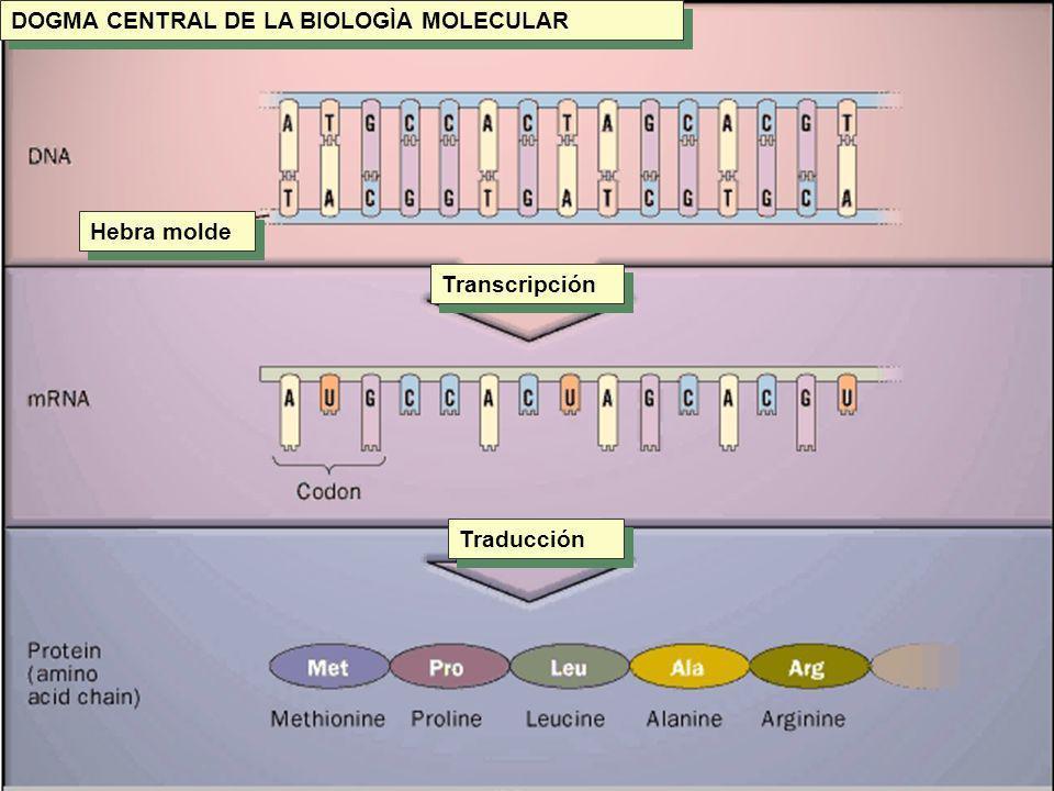 DOGMA CENTRAL DE LA BIOLOGÌA MOLECULAR